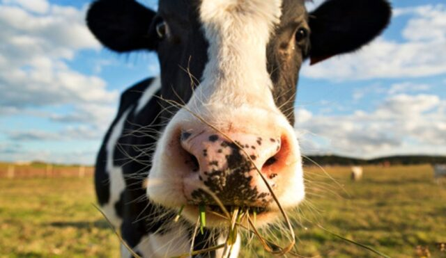 Vaca Pastando E1473426513558