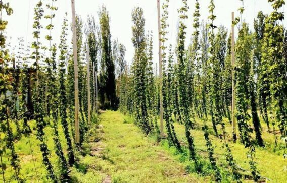 Catriel25Noticias.com 28056670_1795171503850739_1653303787596509536_n-568x363 25 de Mayo: cervecería veinticinqueña con plantación  de lúpulo propia LOCALES