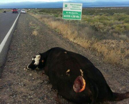 Catriel25Noticias.com vaca-muerta-ruta-451x363 Ruta 151. Estaba anunciado!!!. Chocaron vacas sueltas. Heridos leves Destacadas LOCALES NOTICIAS