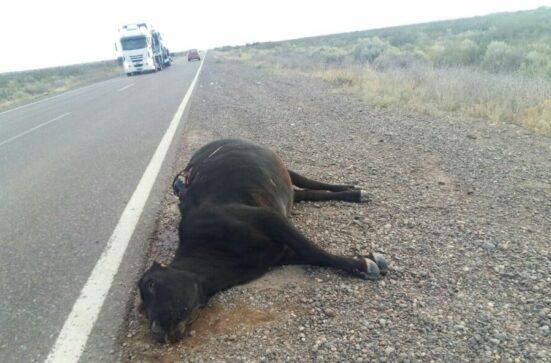 Catriel25Noticias.com vaca-muerta-ruta2-551x363 Ruta 151. Estaba anunciado!!!. Chocaron vacas sueltas. Heridos leves Destacadas LOCALES NOTICIAS
