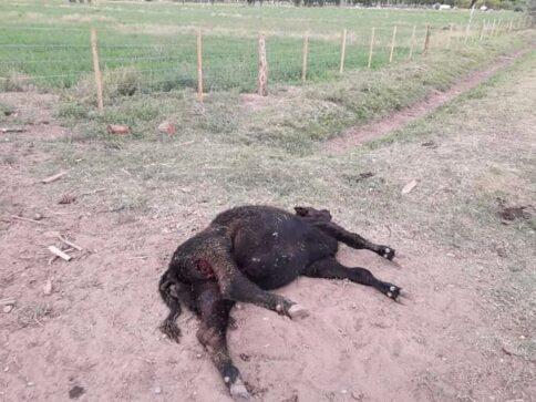 vacas 25 2 - Catriel25Noticias.com
