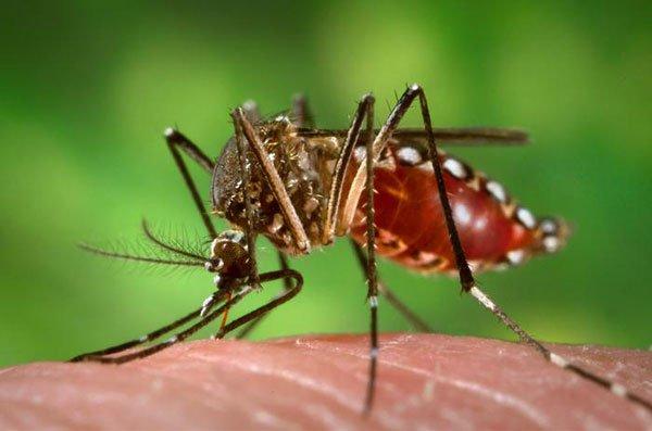 dengue1