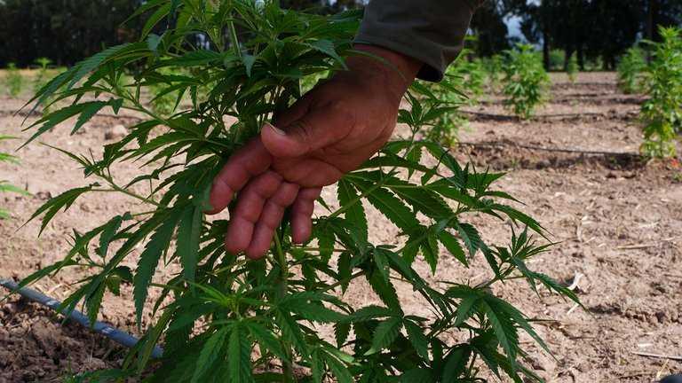 cannabis planta2 - Catriel25Noticias.com