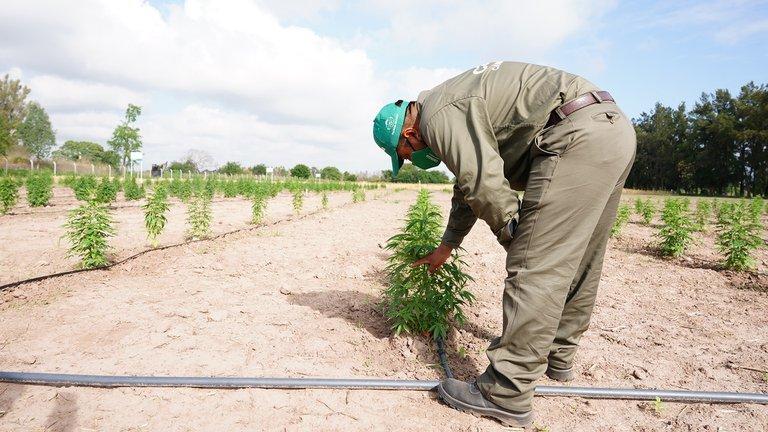 El Gobierno apuesta a la industria del cannabis: cree que para 2025 se habrán generado 10 mil puestos de trabajo