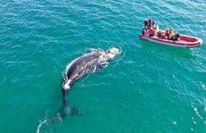 ballenas avistaje - Catriel25Noticias.com
